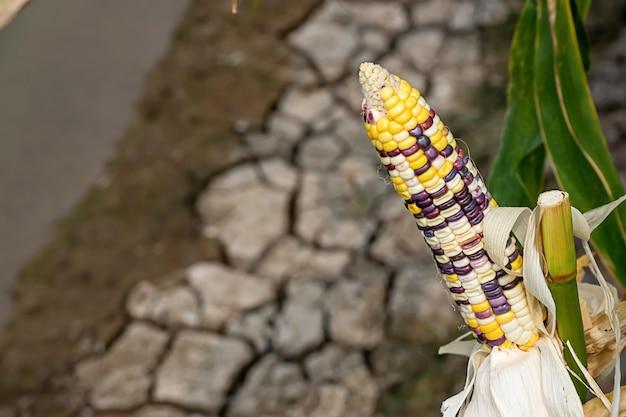 Milho com muitas cores em um vagem na árvore na mostra da exploração agrícola.