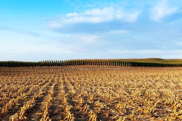 Milho maduro colhido - campo agrícola, que coletou safra de milho maduro, caules chanfrados e amarelados de uma planta de perto, a temporada de outono, céu azul,