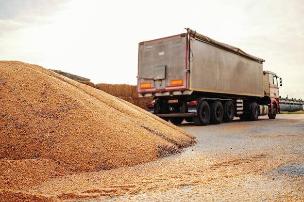 Milho maduro e sem casca em pilha preparada para transporte. no fundo está o caminhão.