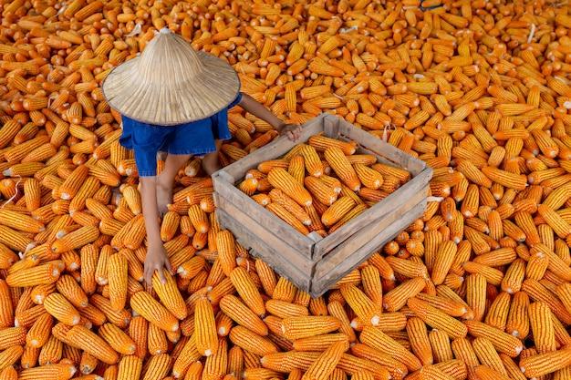 Milho para alimentação animal, agricultor de colheita de milho, agricultura biológica, produção de alimentos e vegetais.