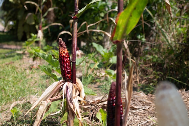 Milho roxo cob fresco no caule ou milho cru na planta