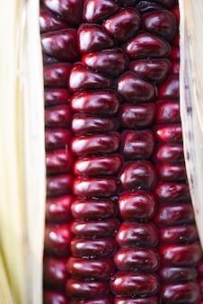 Milho roxo fresco close-up siam ruby queen ou doce milho vermelho na espiga