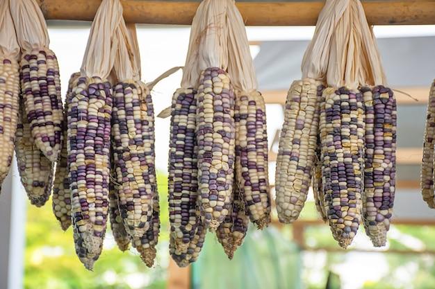 Milho seco pendurado em bambu para as sementes para cultivar