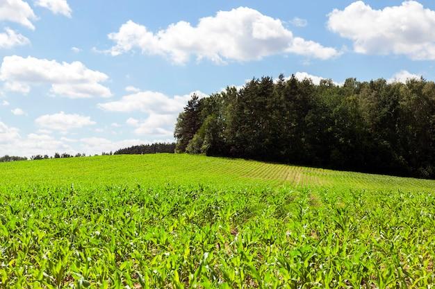 Milho verde claro na primavera. ao fundo, uma floresta verde e um céu azul. linda paisagem de primavera