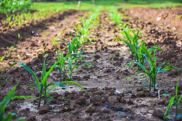 Milho verde jovem crescendo no campo. plantas de milho jovens.