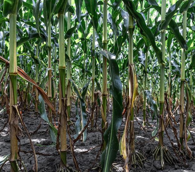 Milho verde novo crescendo no campo, plano de fundo. textura de mudas de milho, fundo verde.