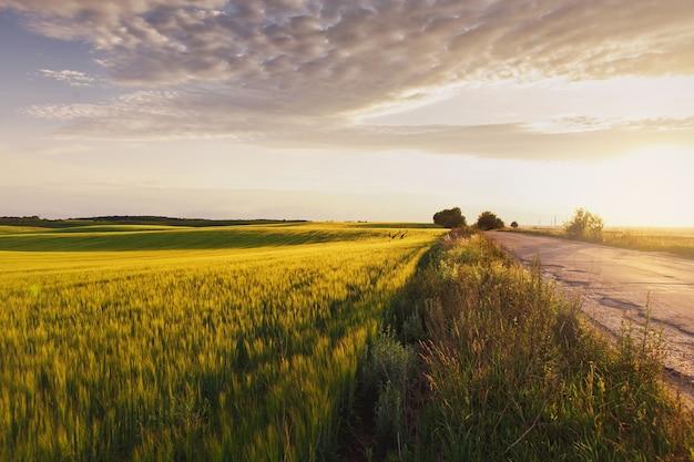 Milhos de cevada verde crescendo na luz do campo no campo de cevada do horizonte ao pôr do sol
