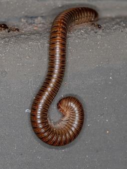 Milípede marrom comum adulto da ordem spirostreptida