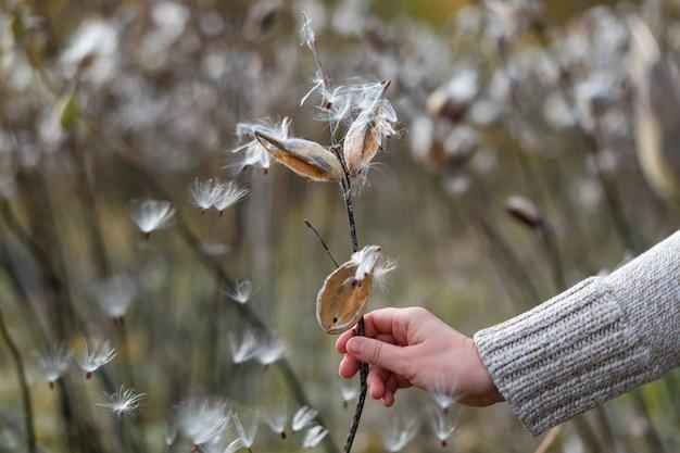 Milkweed comum, asclepias syriaca na mão feminina.