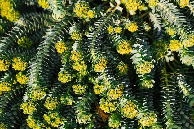 Milkweed myrtle no jardim, paisagismo na primavera