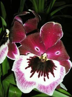 Miltonia: pansy orquídea