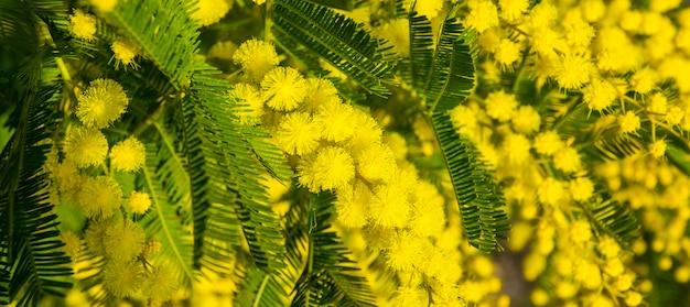 Mimosa flores na árvore
