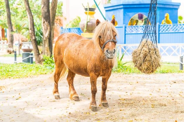 Mini cavalo anão em um pasto em uma fazenda
