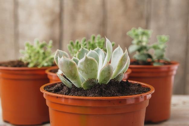 Mini plantas suculentas verdes da casa em uns potenciômetros plásticos marrons