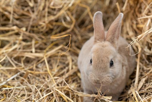 Mini rex é uma raça de coelho doméstico