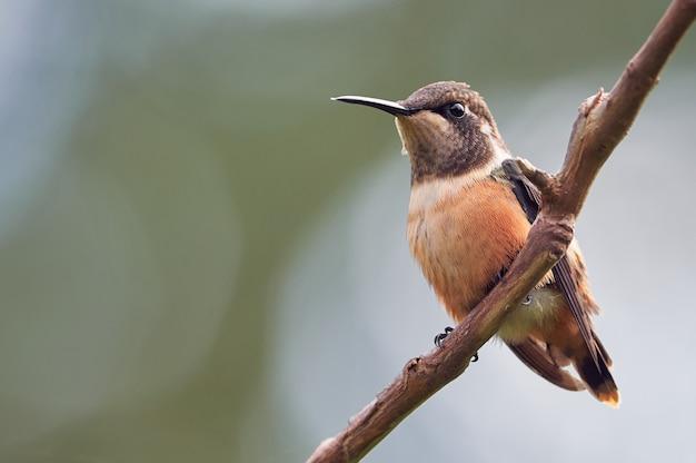 Minúsculo beija-flor empoleirado em um galho de árvore