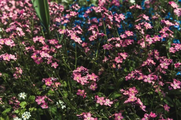 Miosótis-de-rosa e azuis no gramado