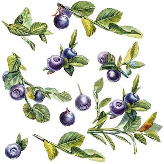 Mirtilo. ilustração botânica em aquarela. mão desenhada pintura aquarela mirtilo sobre fundo branco.