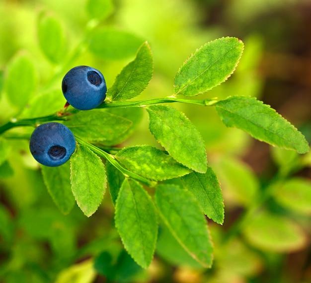 Mirtilos maduros nos galhos do arbusto