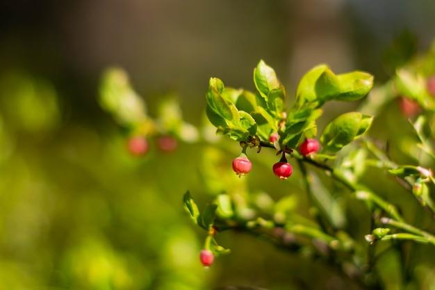 Mirtilos vermelhos, não maduros no início da primavera.
