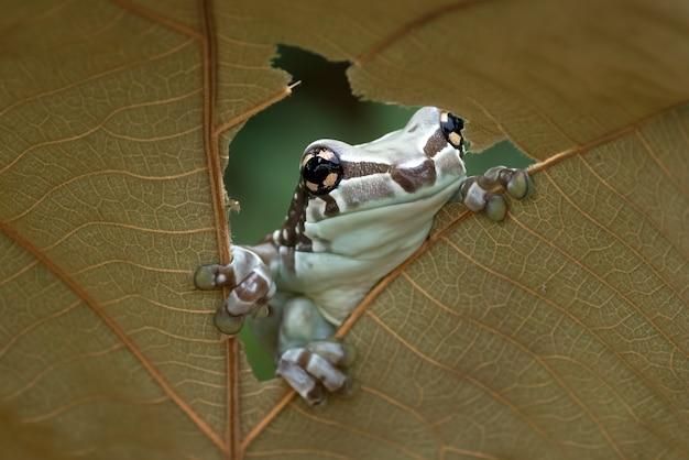 Missão perereca de olhos dourados empoleirada em uma folha