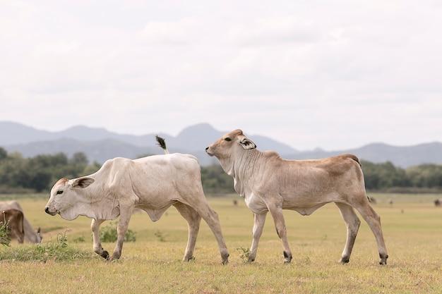 Misturado de vaca doméstica tailandesa no campo rural