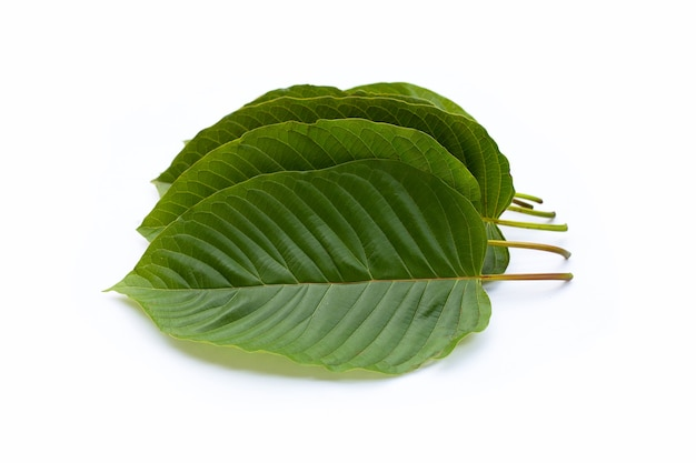 Mitragyna speciosa, folhas frescas de kratom em fundo branco