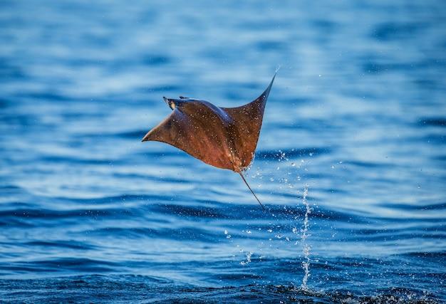 Mobula ray salta da água. méxico