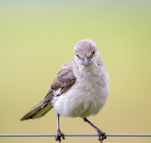 Mockingbird sentado no arame de uma cerca
