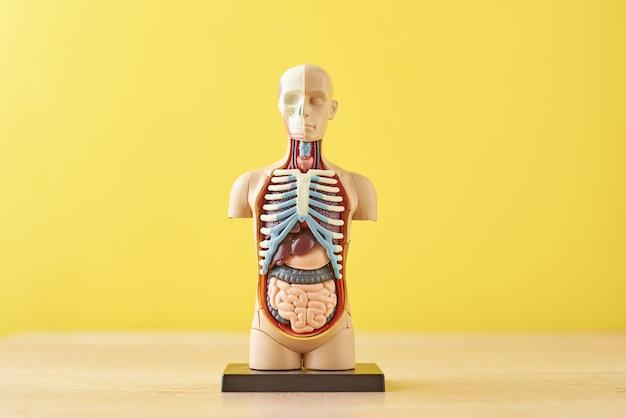 Modelo anatômico do corpo humano com órgãos internos em um fundo amarelo. manequim de corpo de anatomia