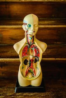 Modelo anatômico do corpo humano em plástico para estudar em sala de aula ou para o médico.