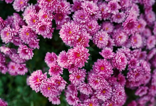 Modelo de canteiro de flores, cartão ou calendário de crisântemo roxo