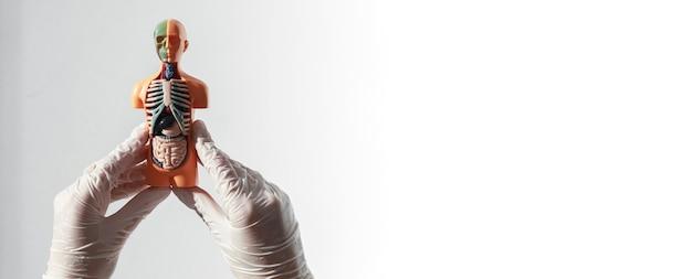 Modelo de corpo humano com órgãos internos sobre uma faixa branca com copyspace