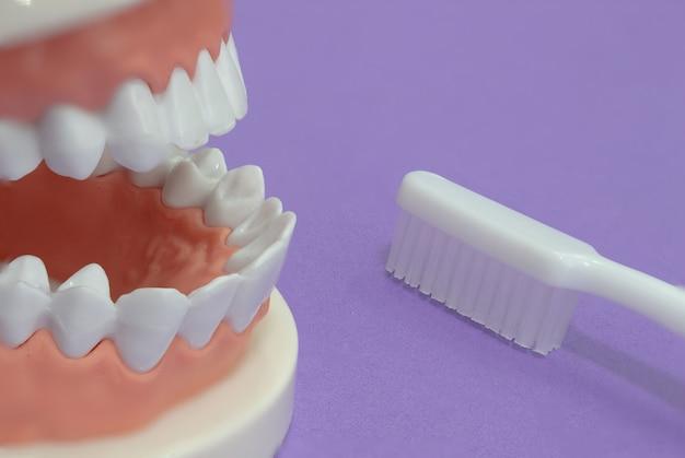Modelo de ensino de odontologia ortodôntica de dentes dentais e dentes de escovação em um fundo roxo.
