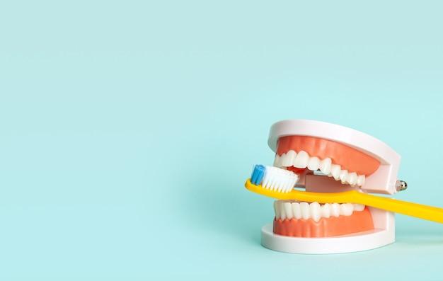 Modelo de mandíbula e escovas de dente o conceito de como escovar os dentes corretamente ou escolher a escova de dente