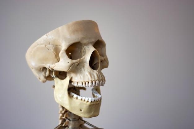 Modelo médico anatomicamente correto do crânio humano