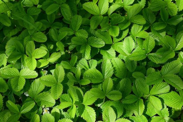 Moitas de folhas verdes de morango suculentas no canteiro do jardim em toda a estrutura. não há bagas. foto de close-up. uma sombra cai nas folhas
