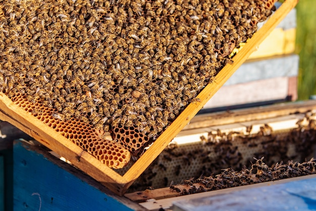 Molduras de uma colmeia. abelhas trabalhando em uma colmeia. as abelhas transformam o néctar em mel.