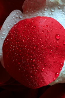 Molhados, cima, macro, pétalas rosas, gotas água