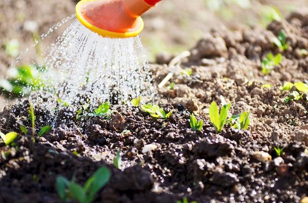 Molhar as plantas de um regador. agricultura de rega e conceito de jardinagem. morangos molhando.