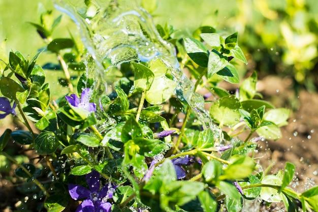 Molhar flores de jardim