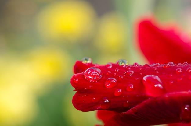 Molhe gotas após a chuva em uma flor vermelha bonita.