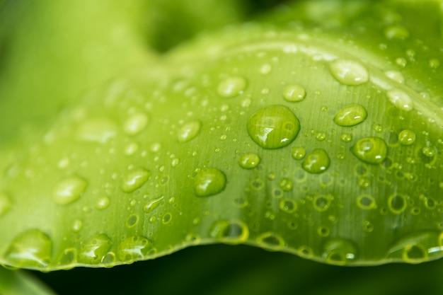 Molhe gotas nas folhas verdes na manhã, no fim e no fundo do borrão, estilo macro.