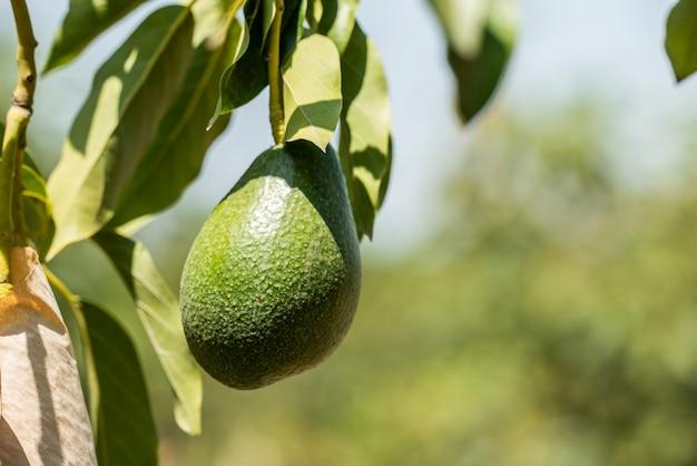 Molho de abacates frescos amadurecendo em um galho de árvore de abacate