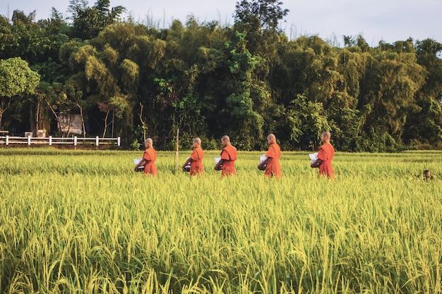 Monge com arrozal na tailândia