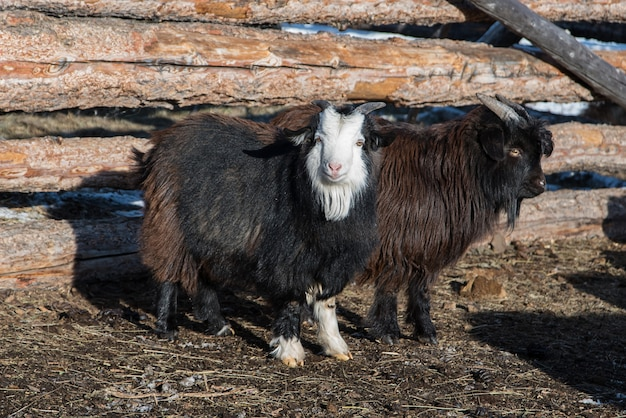 Mongol cabra pequena perto de cerca de madeira na fazenda