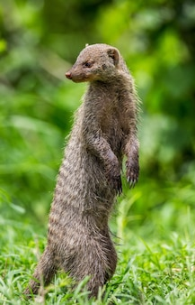 Mongoose está de pé sobre as patas traseiras na grama do parque nacional do serengeti. áfrica. tanzânia. parque nacional do serengeti.