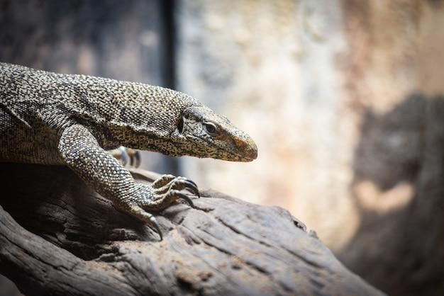 Monitor de bengala - lagarto da vida selvagem / varanus bengalensis
