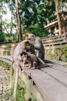 Monkey a família com o bebê pequeno na floresta ubud bali indonésia. macacos coçam as costas um do outro.