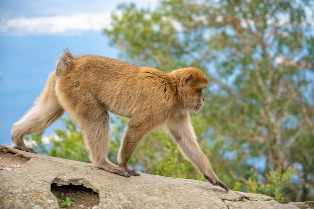Monkey macaca sylvanus em estado selvagem na península de gibraltar